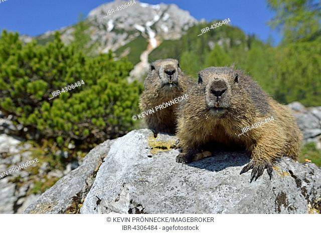 Two alpine marmots (Marmota marmota) sitting on rock, Dachstein Salzkammergut, Austria