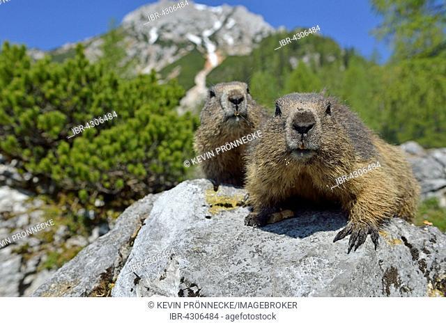 Two alpine marmots (Marmota marmota) sitting on rock, Dachstein Salzkammergut, Austria