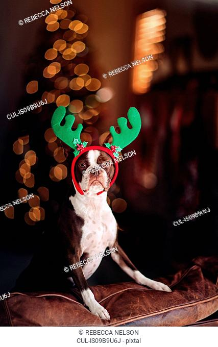 Boston Terrier dog with reindeer antlers, Christmas tree in background