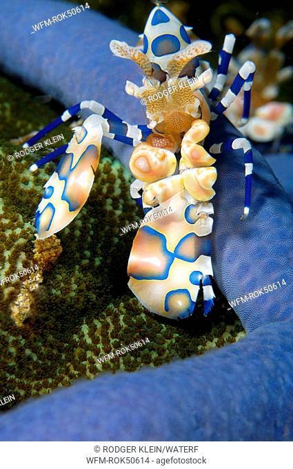harlequin shrimp, Hymenocera elegans, Andaman Sea, Myanmar Burma