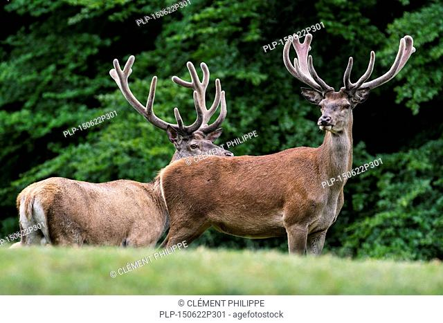 Two red deer (Cervus elaphus) stags with antlers covered in velvet in grassland at forest's edge in summer