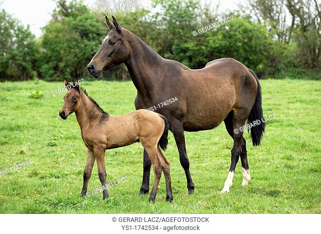 Akhal Teke, Horse Breed from Turkmenistan, Mare with Foal