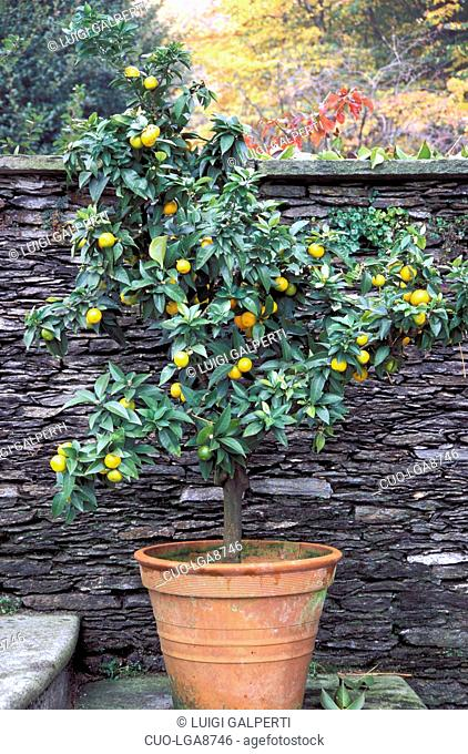 Potted citrus tree, Italy