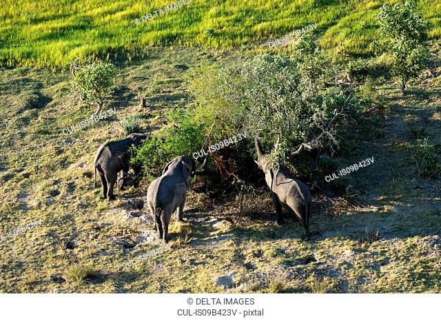 Aerial view of three african elephants (Loxodonta africana) feeding on tree foliage, Okavango delta, Botswana