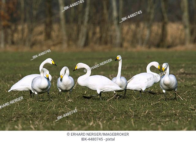 Whooper swans (Cygnus cygnus) on a field, winter visitors, Emsland, Lower Saxony, Germany