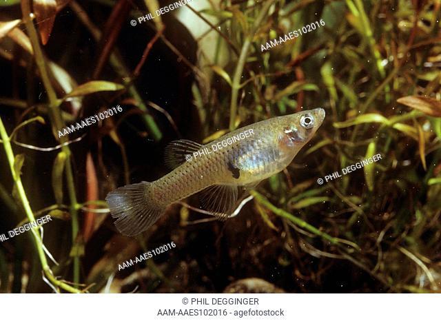 Mosquito Fish (Gambusia affinis)