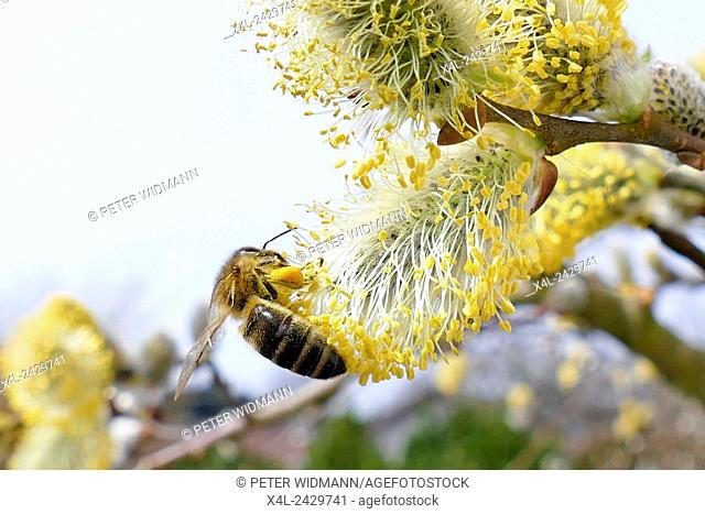 Western Honey bee (Apis mellifera collecting pollen on Goat Willow Europe