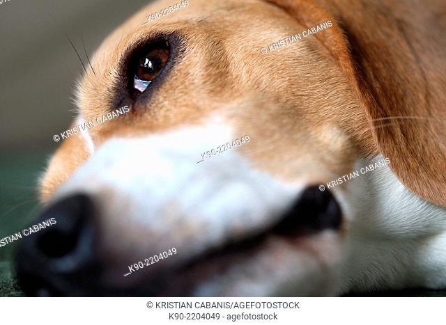 Close-up of snout and eye of a male tricolor Beagle, Berlin, Germany, Europe