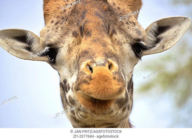 head of giraffe, Kenia