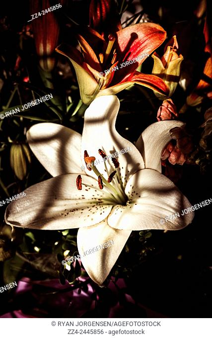 White oriental lilly flower shrouded behind black windowsill shadows in the afternoon sunlight. Floristry of closure