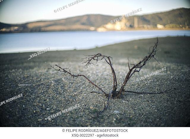 A dead bush emerges at the bottom of a half-empty reservoir, Espiel, Córdoba, Spain