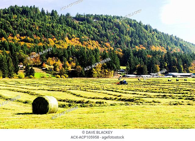 A tractor making hay bales in a field near Ladysmith, British Columbia