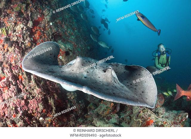 Diver and Blotched Fantail Stingray, Taeniura meyeni, Ellaidhoo House Reef, North Ari Atoll, Maldives