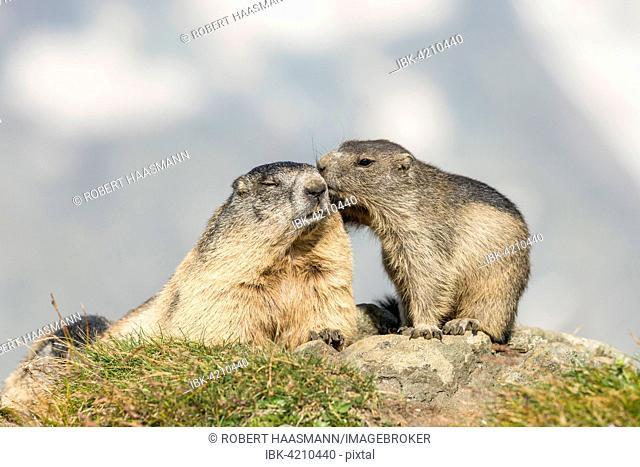Two alpine marmots (Marmota marmota), mother with pup, High Tauern National Park, Carinthia, Austria