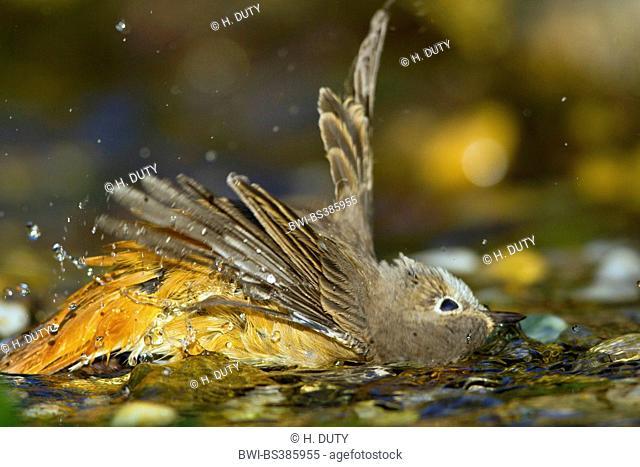 common redstart (Phoenicurus phoenicurus), bathing female, Germany, Mecklenburg-Western Pomerania