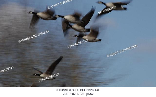 Spring in Sweden: Canada geese (Branta canadensis) have arrived in their breeding area. The flock flies up and away into the blue sky
