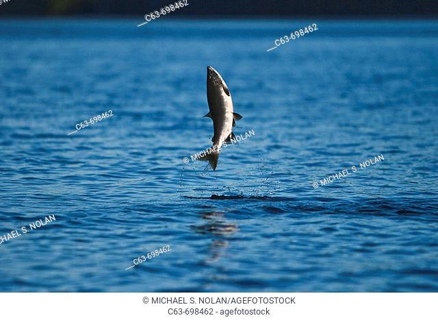 Spawning pink salmon (Oncorhynchus gorbuscha) leaping in Red Bluff Bay, Southeast Alaska, USA. Pacific Ocean. Salmon leap perhaps to loosen their eggs and milt...