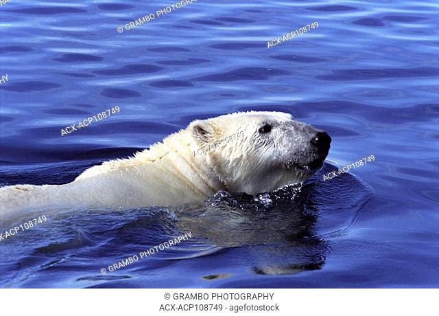 Polar bear, Ursus maritimus, swims in Wager Bay, Ukkusiksalik National Park, Nunavut, Canada