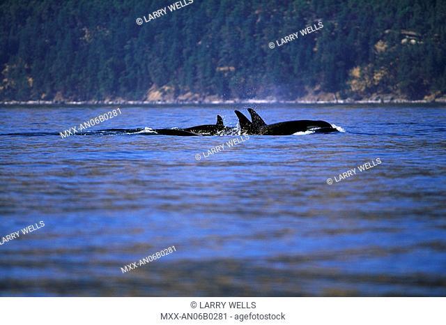 Orca, Killer Whales, off Victoria, Vancouver Island, British Columbia, Canada