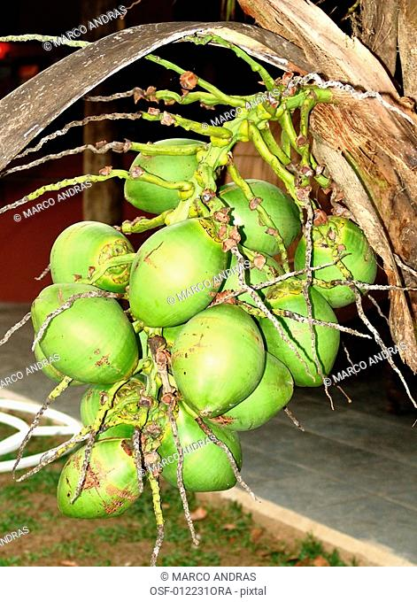 some green coconuts cocoas fruits for commerce