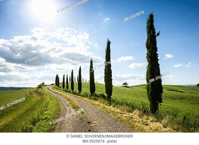 Mediterranean Cypresses (Cupressus sempervirens) with a dirt track, Val d'Orcia, near Buonconvento, Province of Siena, Tuscany, Italy