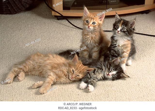Norwegian Forest Cats kittens 8 weeks