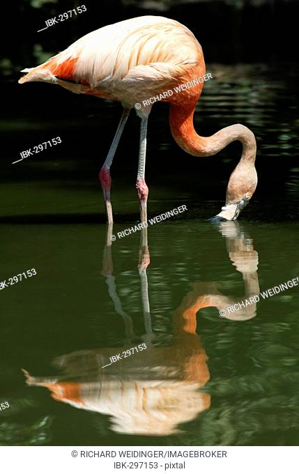 Greater Flamingo with reflection