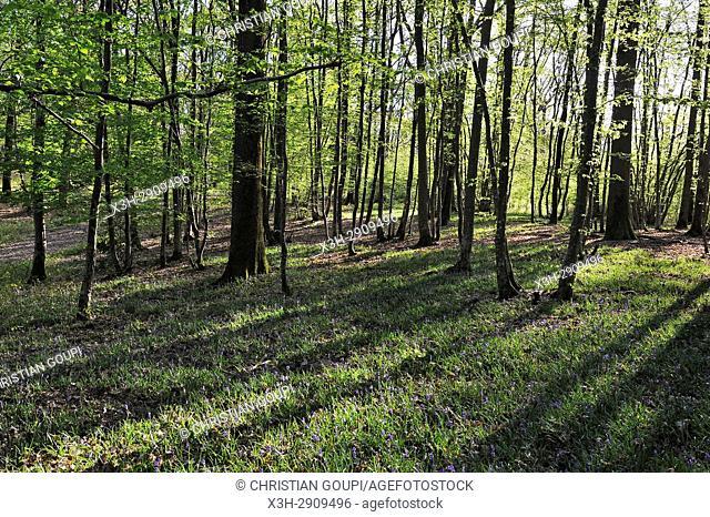 bluebell flowerbed in understory, Forest of Rambouillet, Haute Vallee de Chevreuse Regional Natural Park, Yvelines department, Ile-de-France region, France