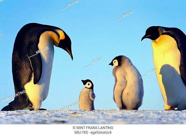 Emperor penguins showing paternal response to puppet, Aptenodytes forsteri, Weddell Sea, Antarctica