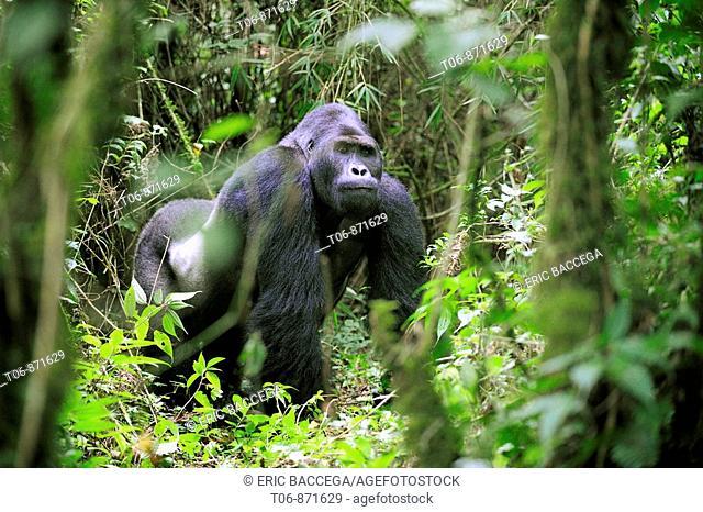 Silverback eastern lowland gorilla in the equatorial forest of Kahuzi Biega Park (Gorilla beringei graueri) Democratic  Republic of Congo, Africa