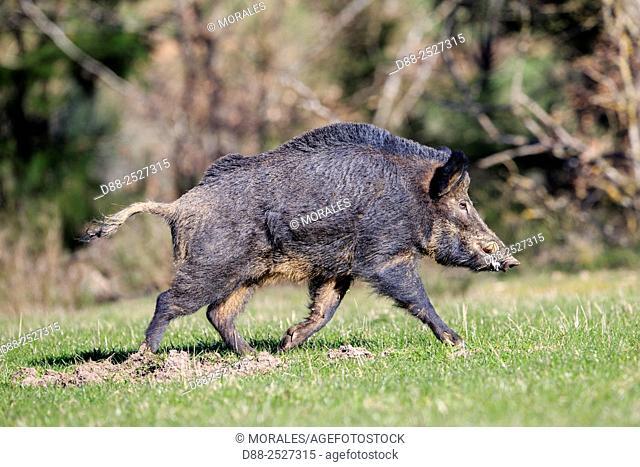 France, Haute Saone, Private park, Wild Boar Sus scrofa, male
