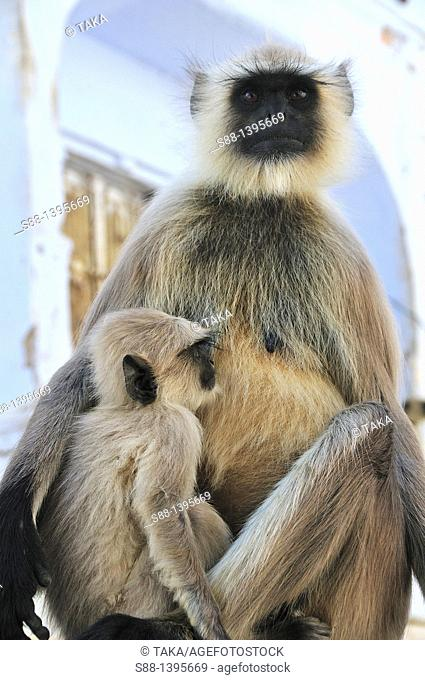 Monkey in the town