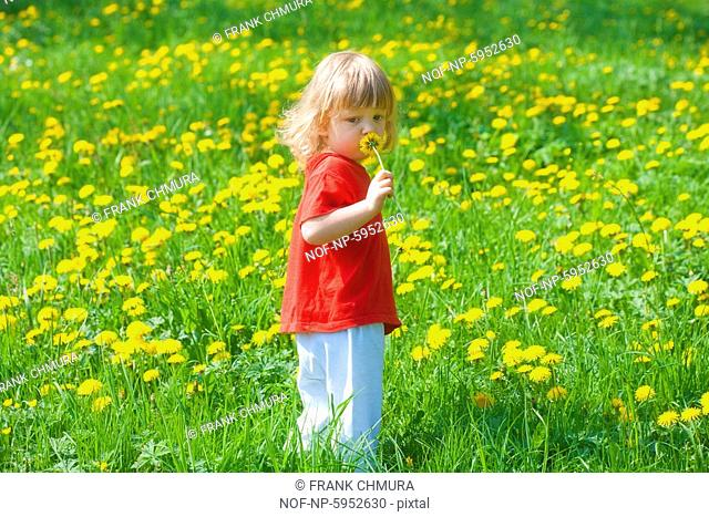 Boy 2,5 years holding dandelion standing in a spring field