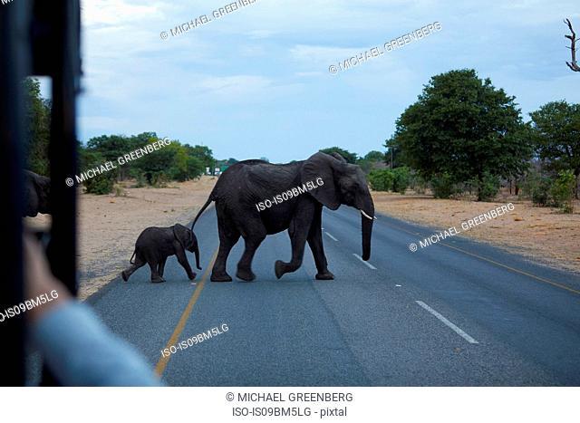 Baby and adult elephant crossing road, Kasane, North-West, Botswana