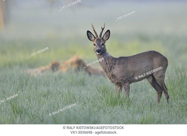 Roe Deer / Reh ( Capreolus capreolus ), strong buck in winter fur standing on wet grassland early in the morning, watching attentively