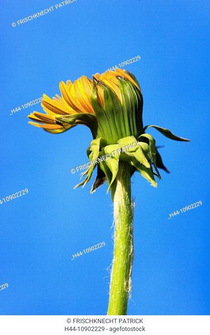 flower, flowers, blossom, flower, splendour, blossom, flourish, detail, spring, background, dandelion, dandelion, macro, close-up, nature, blowball, sunshine