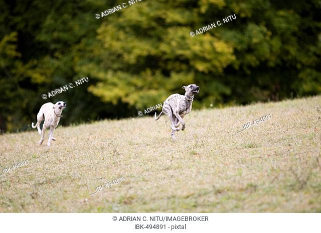 Running greyhounds, whippets