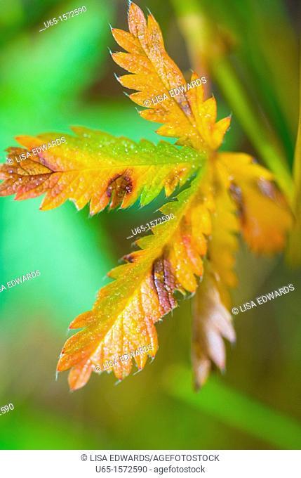 Orange leaf, Lake Alice, Wyoming, USA