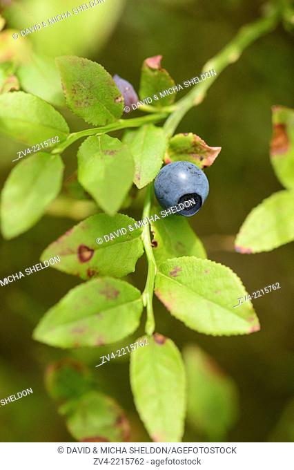 Close-up of European blueberry (Vaccinium myrtillus) fruits in a forest in spring