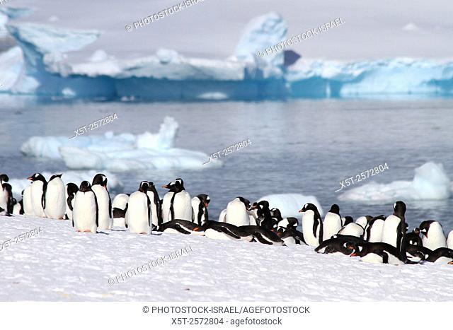 Gentoo penguins (Pygoscelis papua) on Danco Island or Isla Dedo an island off Antarctica, 1 nautical mile (2 km) long lying in the southern part of Errera...