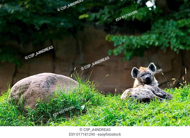 single brown hyena lying next rock in green grass
