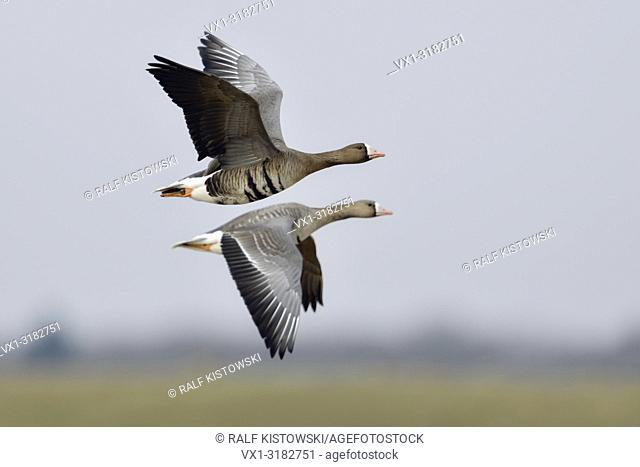 White-fronted Geese ( Anser albifrons ), pair, couple, arctic guests, flying above rural grounds of their winter territory, wildlife, Europe