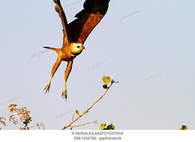 Brazil, Mato Grosso, Pantanal area, Black-collared Hawk Busarellus nigricollis