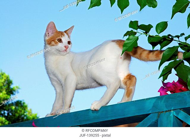 domestic cat - standing
