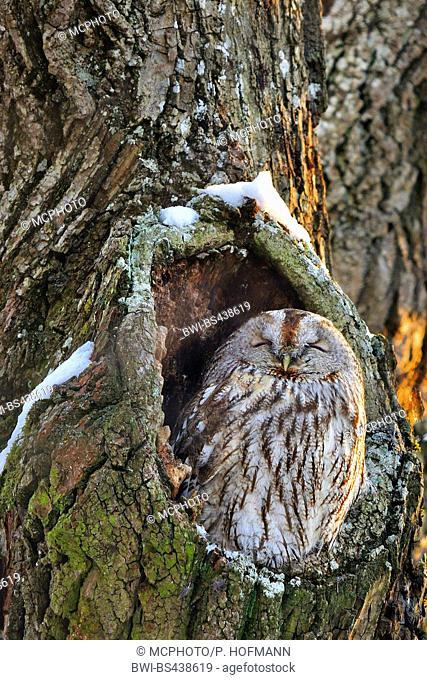 Eurasian tawny owl (Strix aluco), sleeping in a tree hole, Germany