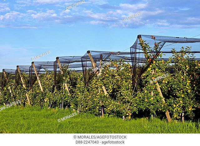 France,Bas-Rhin,Traenheim,organic orchard with protectives nets,apple tree,Variety Boskoop