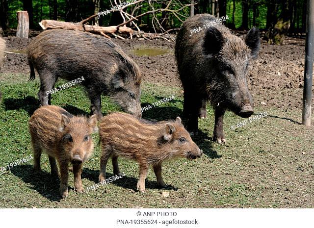 Wild Boar Sus scrofa - Eifel, Rhineland-Palatinate, Rheinland-Pfalz, Germany, Europe