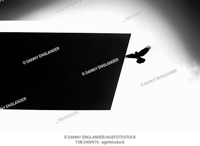 A Crow in silhouette flies to a roof overhang