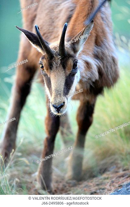 Chamois (Rupicapra rupicapra) in the Gran Paradiso National Park. Italy