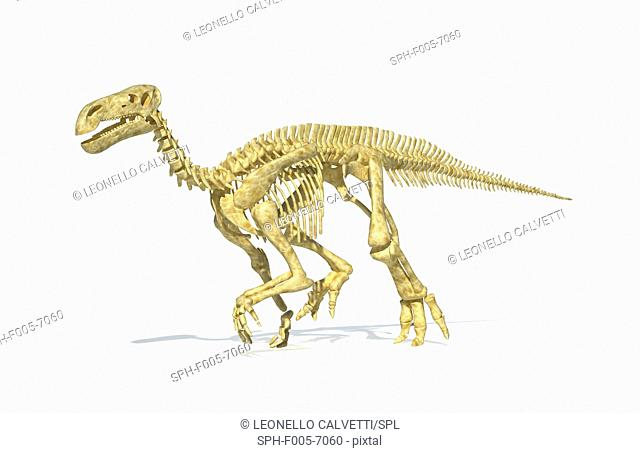 Iguanodon dinosaur skeleton, computer artwork. Iguanodon was one of the most widespread dinosaurs, and fossils have been found in many regions